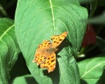 Comma Butterfly - Ventnor
